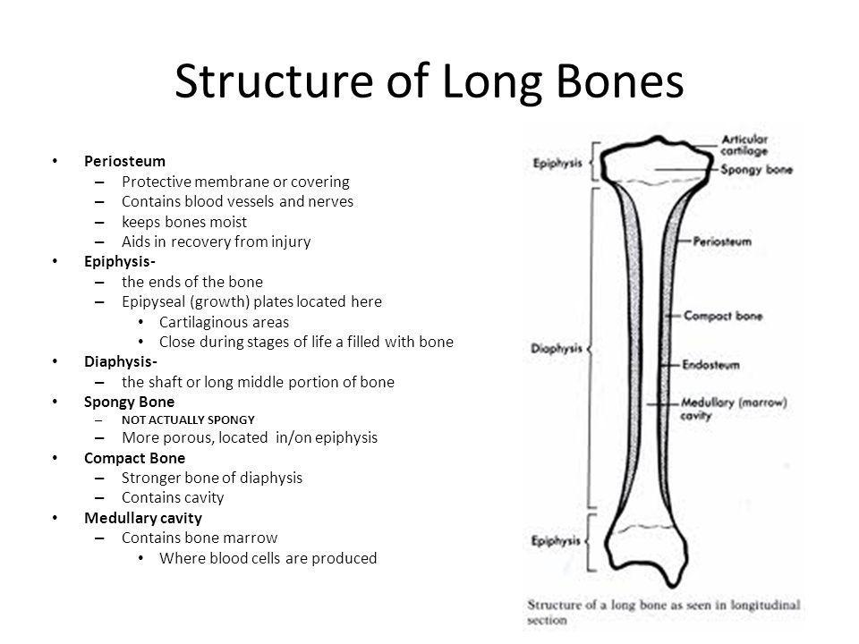 Structure of Long Bones