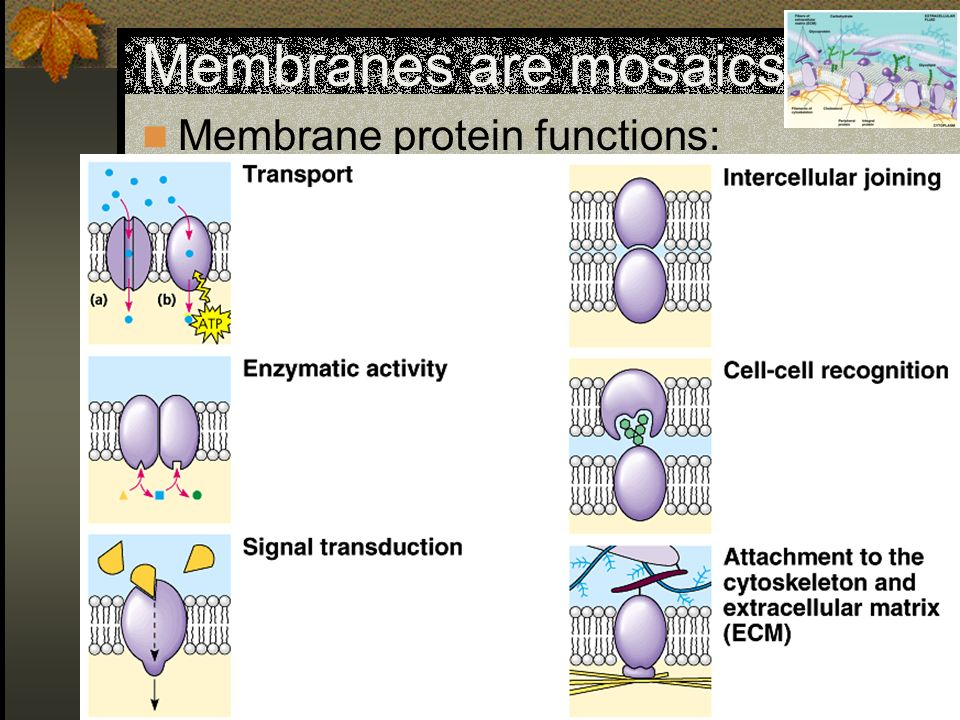 Membranes are mosaics Membrane protein functions: