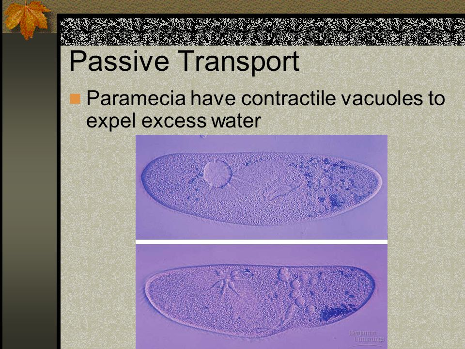 Passive Transport Paramecia have contractile vacuoles to expel excess water