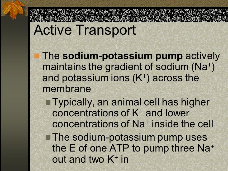 Active Transport The sodium-potassium pump actively maintains the gradient of sodium (Na+) and potassium ions (K+) across the membrane.