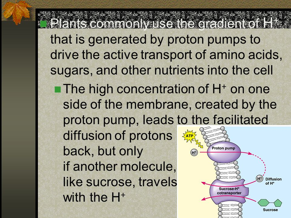 Plants commonly use the gradient of H+ that is generated by proton pumps to drive the active transport of amino acids, sugars, and other nutrients into the cell