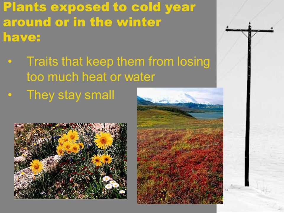 Plants exposed to cold year around or in the winter have:
