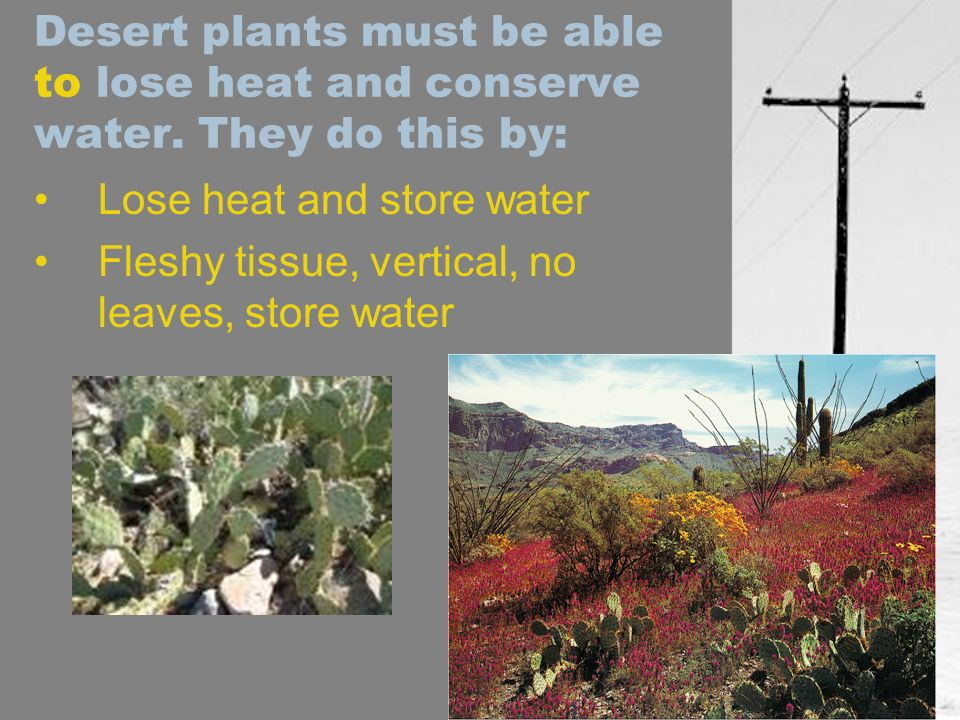 Desert plants must be able to lose heat and conserve water