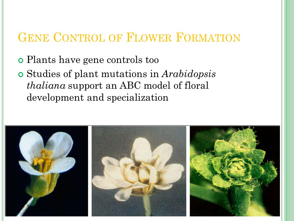 Gene Control of Flower Formation
