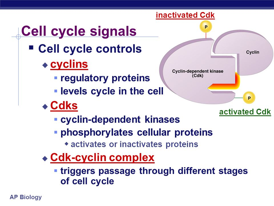 Cell cycle signals Cell cycle controls cyclins Cdks Cdk-cyclin complex