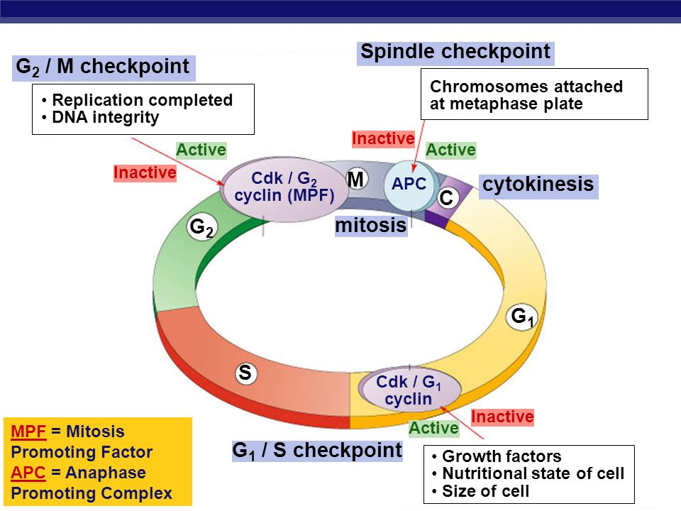 Spindle checkpoint G2 / M checkpoint M cytokinesis C G2 mitosis G1 S