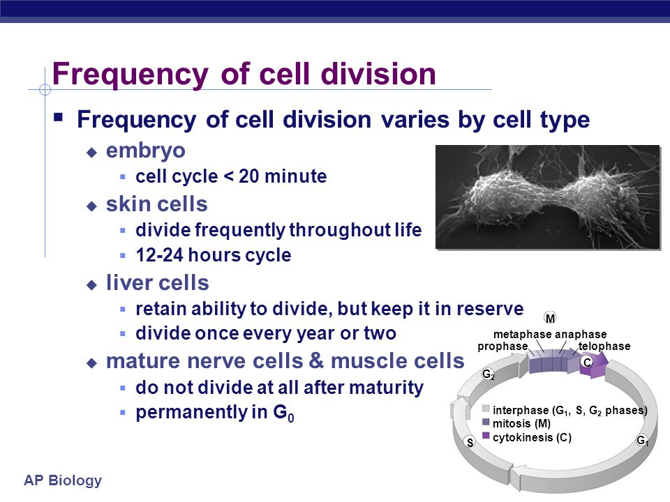 Frequency of cell division