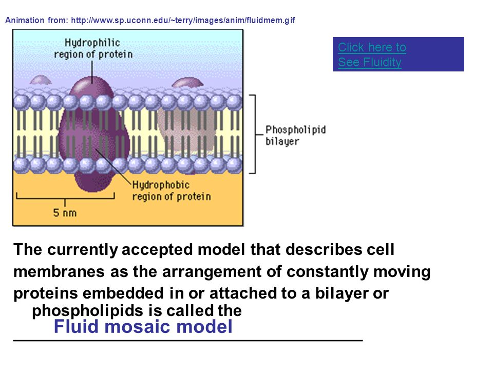 Fluid mosaic model The currently accepted model that describes cell