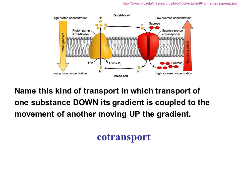 cotransport Name this kind of transport in which transport of