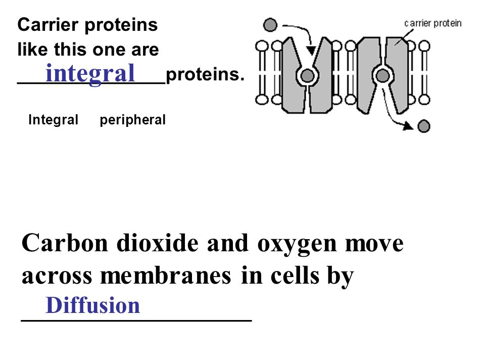 Carbon dioxide and oxygen move across membranes in cells by