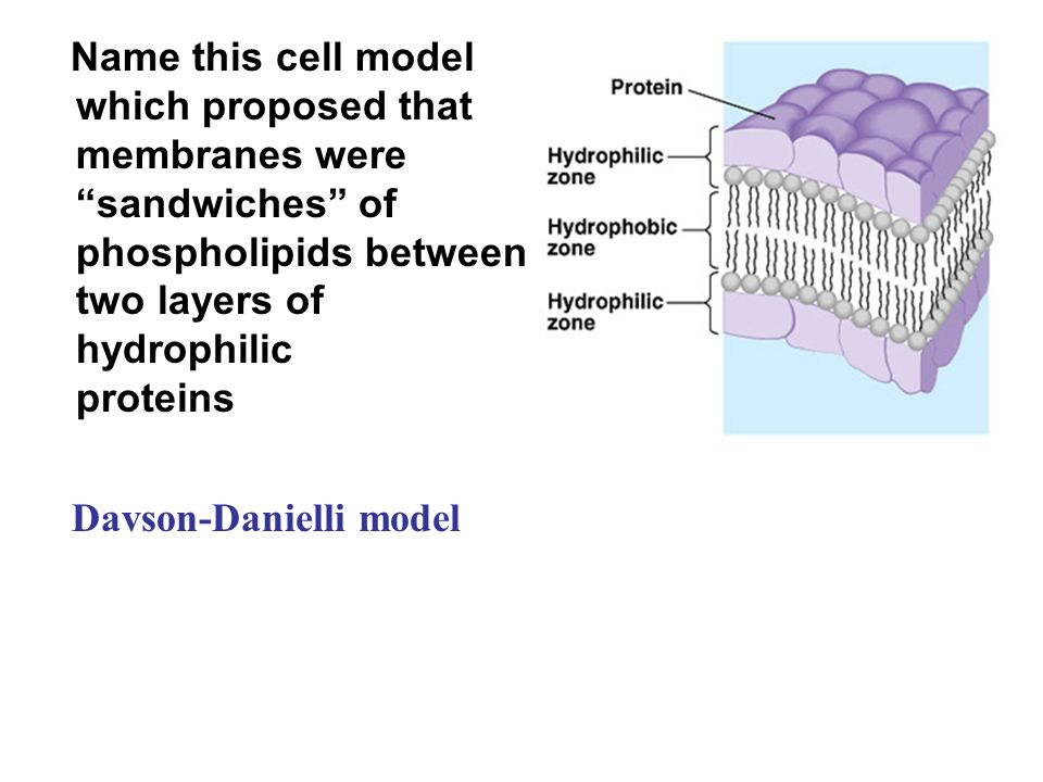 Name this cell model which proposed that membranes were sandwiches of phospholipids between two layers of hydrophilic proteins