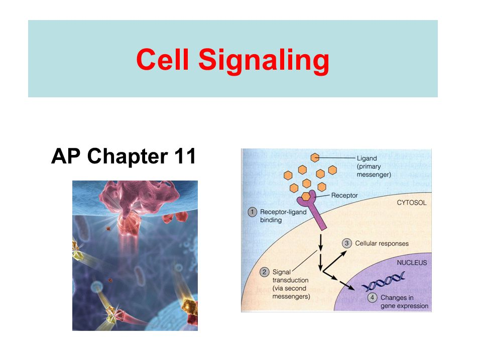 Cell Signaling AP Chapter 11