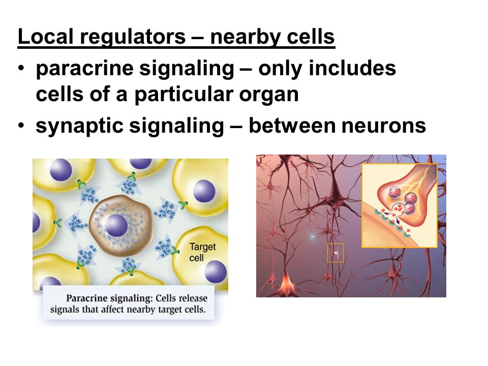Local regulators – nearby cells
