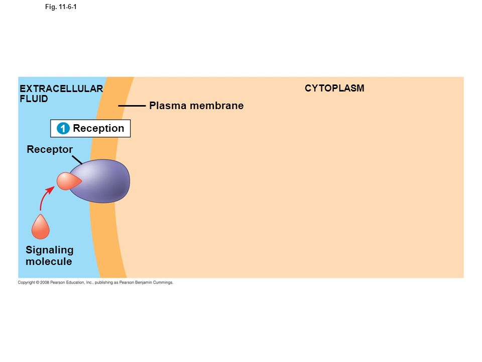 Plasma membrane 1 Reception Receptor Signaling molecule 1