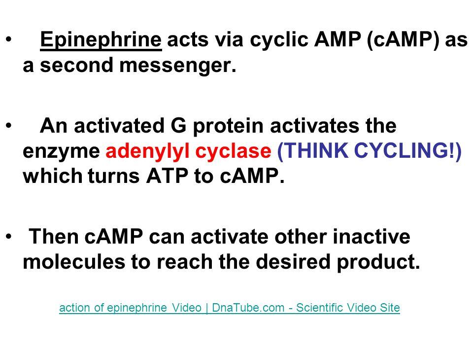 Epinephrine acts via cyclic AMP (cAMP) as a second messenger.