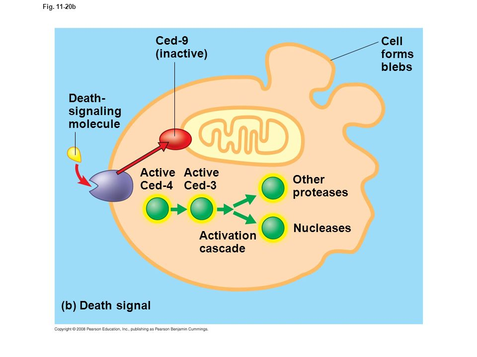 Ced-9 (inactive) Cell forms blebs Death- signaling molecule Active