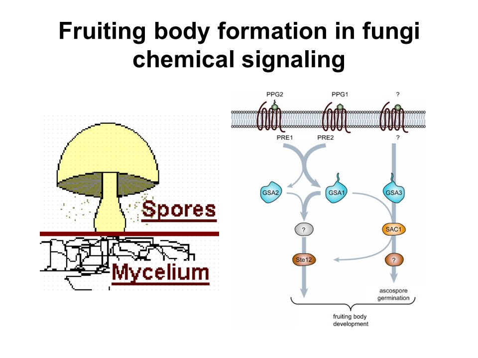 Fruiting body formation in fungi chemical signaling