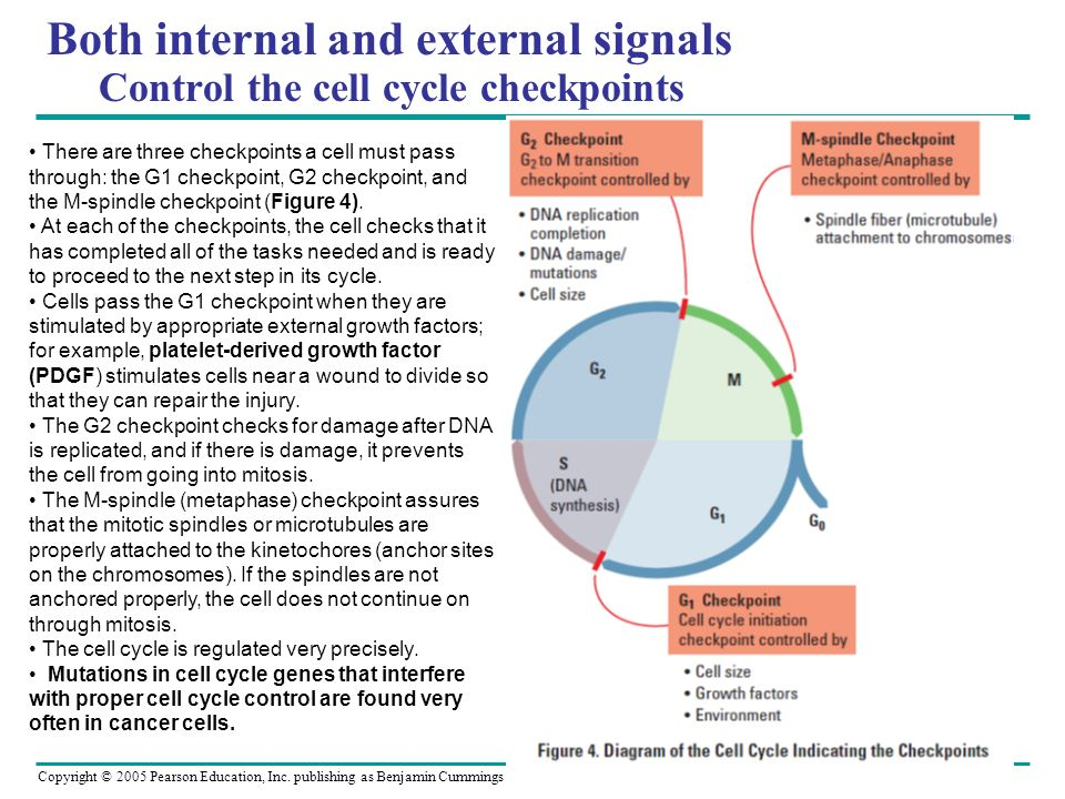 Both internal and external signals Control the cell cycle checkpoints