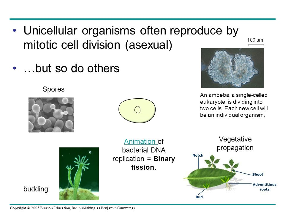 Unicellular organisms often reproduce by mitotic cell division (asexual)