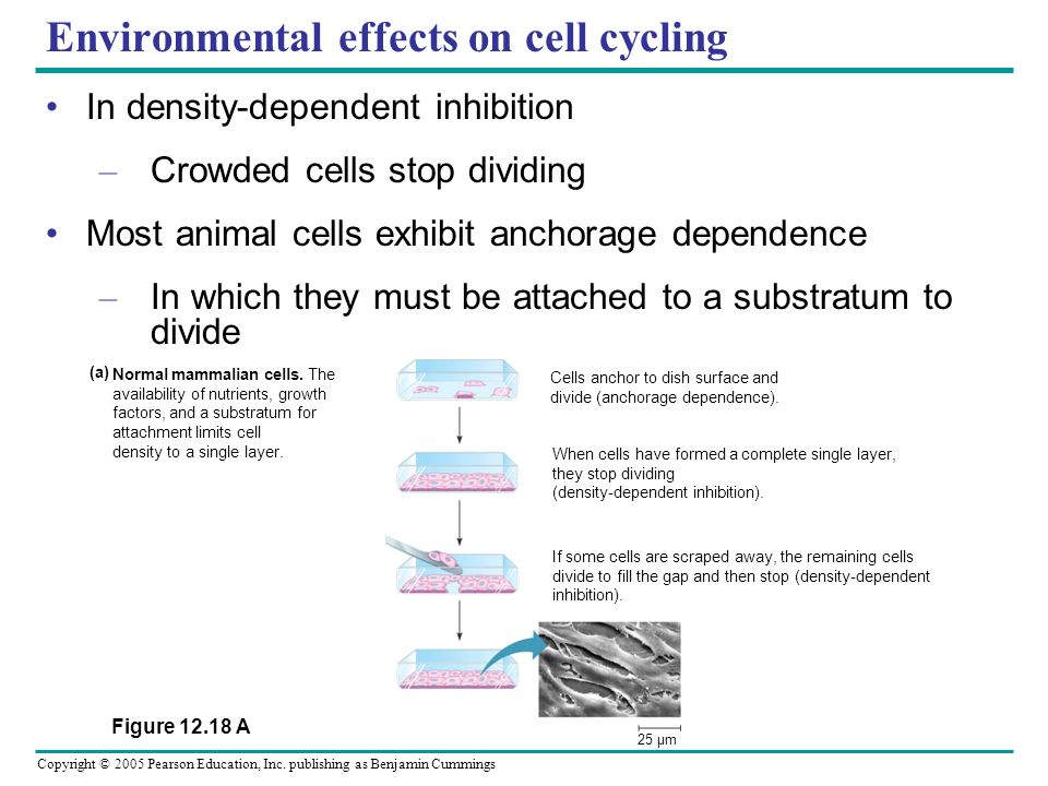 Environmental effects on cell cycling