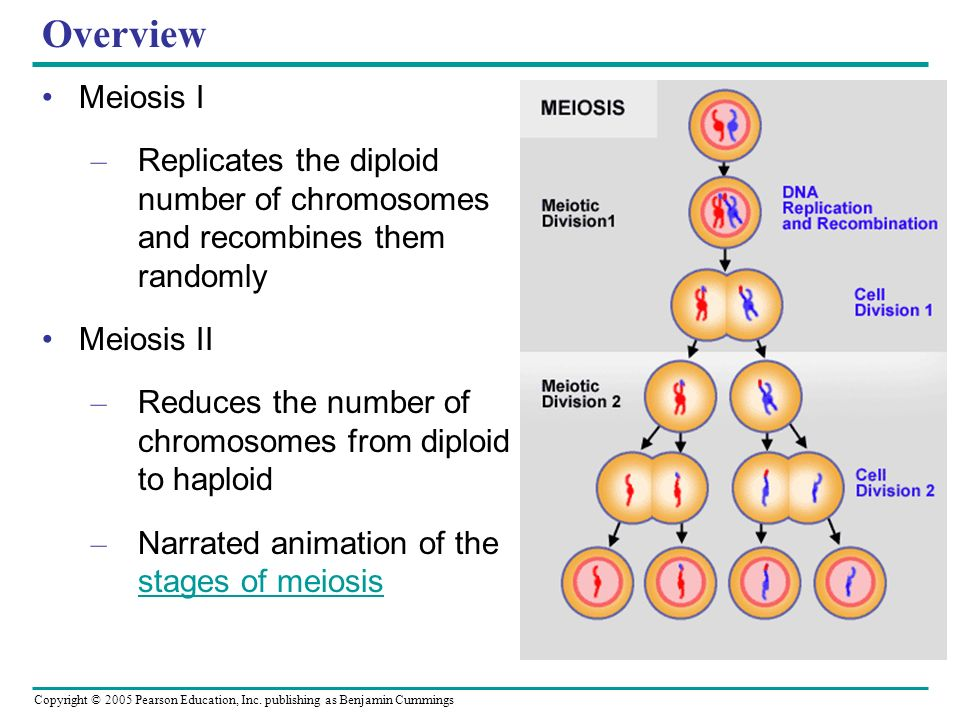 Overview Meiosis I. Replicates the diploid number of chromosomes and recombines them randomly. Meiosis II.