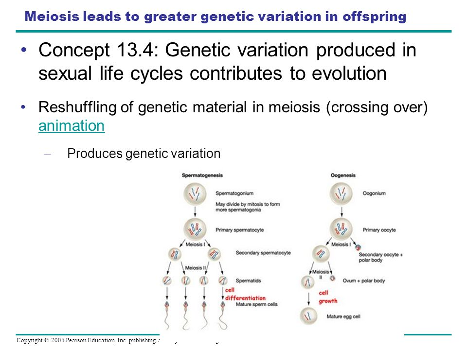 Meiosis leads to greater genetic variation in offspring