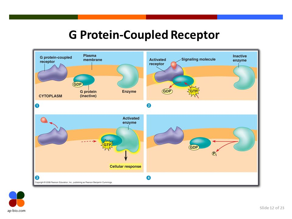 analysis of g protein coupled receptor 12 Molecular analysis of receptor–g-protein coupling  the efficiency of interactions between g-protein-coupled receptors (gpcrs)  there is substantial cross-talk 12.