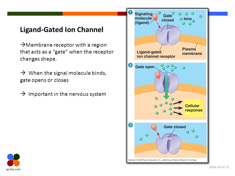Ligand-Gated Ion Channel
