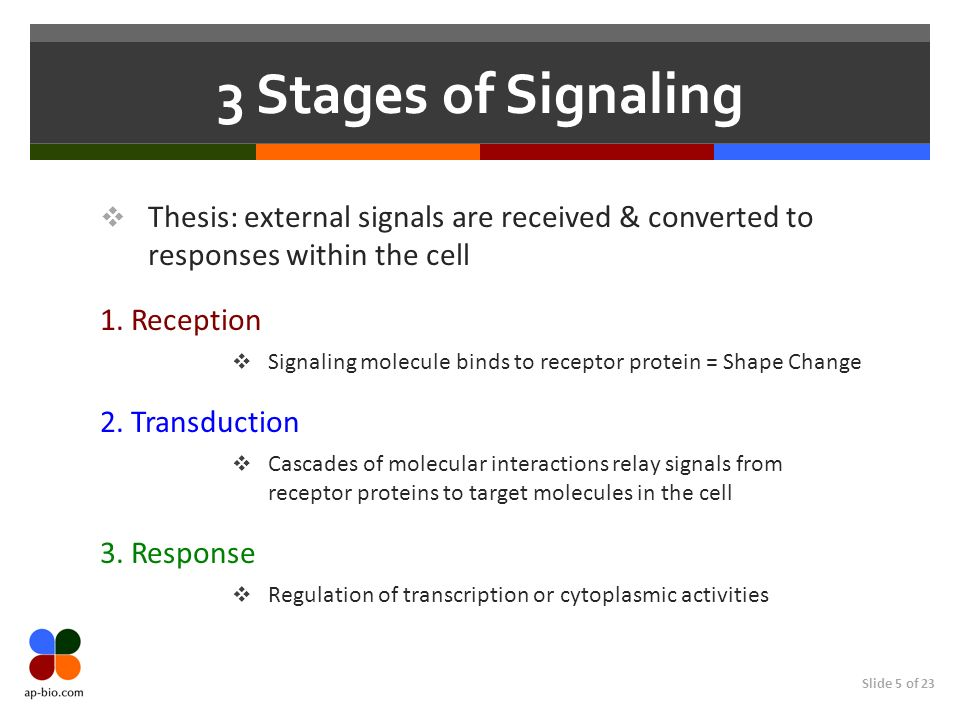 3 Stages of SignalingThesis: external signals are received & converted to responses within the cell.