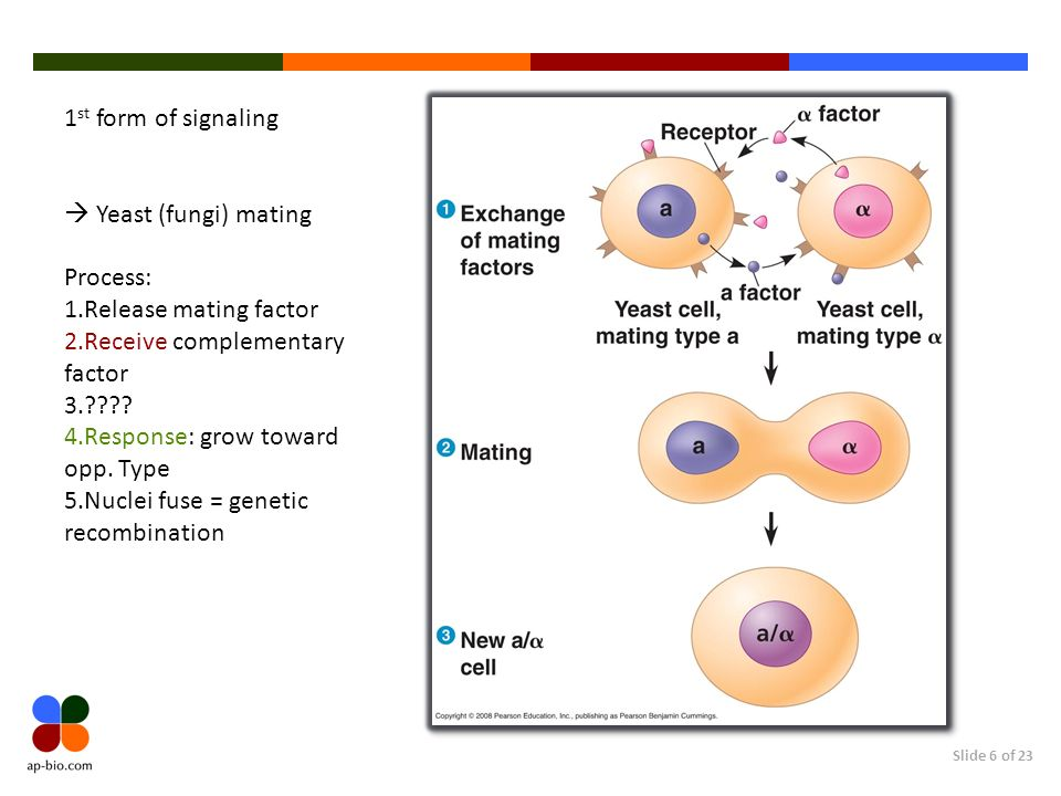 1st form of signaling Yeast (fungi) mating. Process: Release mating factor. Receive complementary factor.