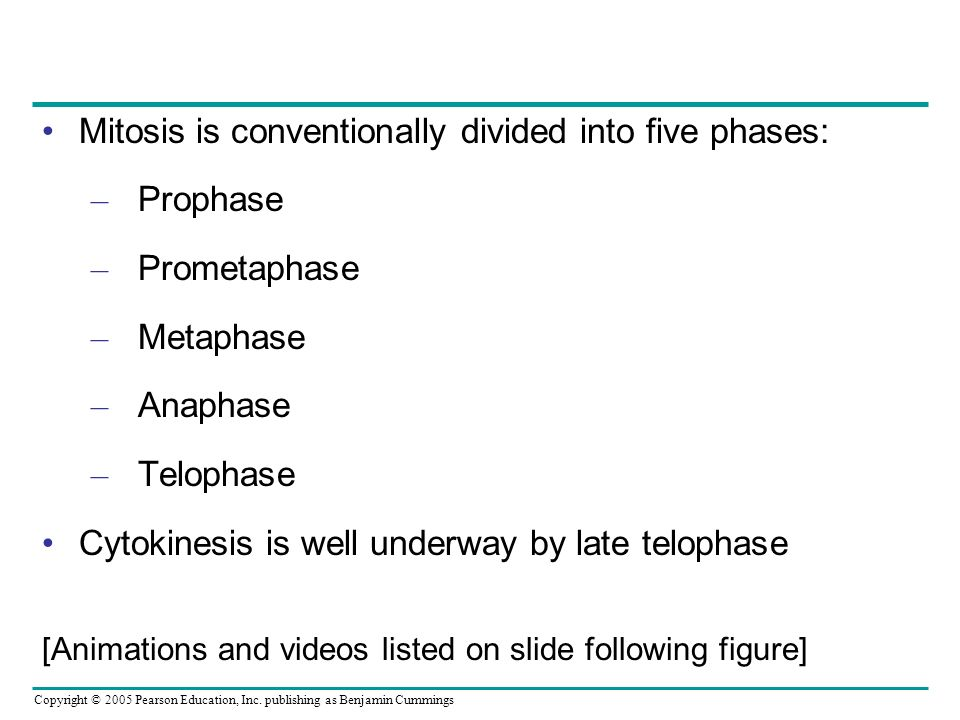 Mitosis is conventionally divided into five phases: Prophase