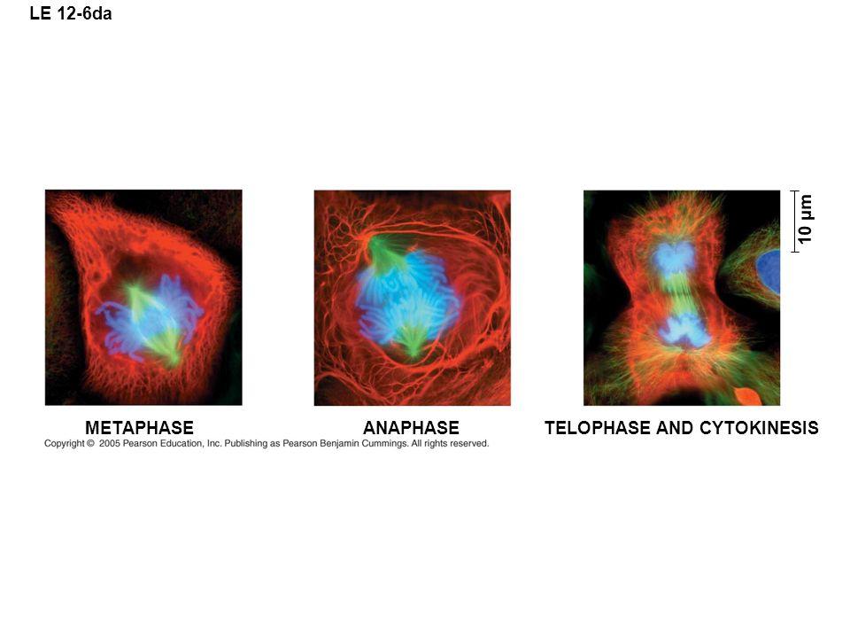 LE 12-6da 10 µm METAPHASE ANAPHASE TELOPHASE AND CYTOKINESIS