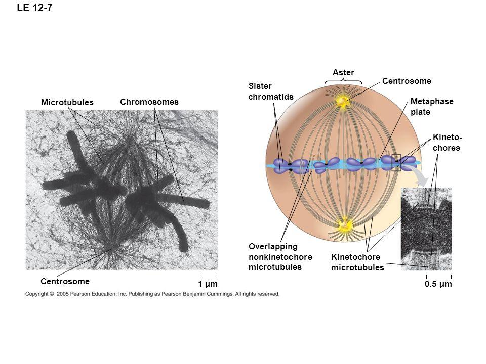 LE 12-7 Aster Centrosome Sister chromatids Microtubules Chromosomes