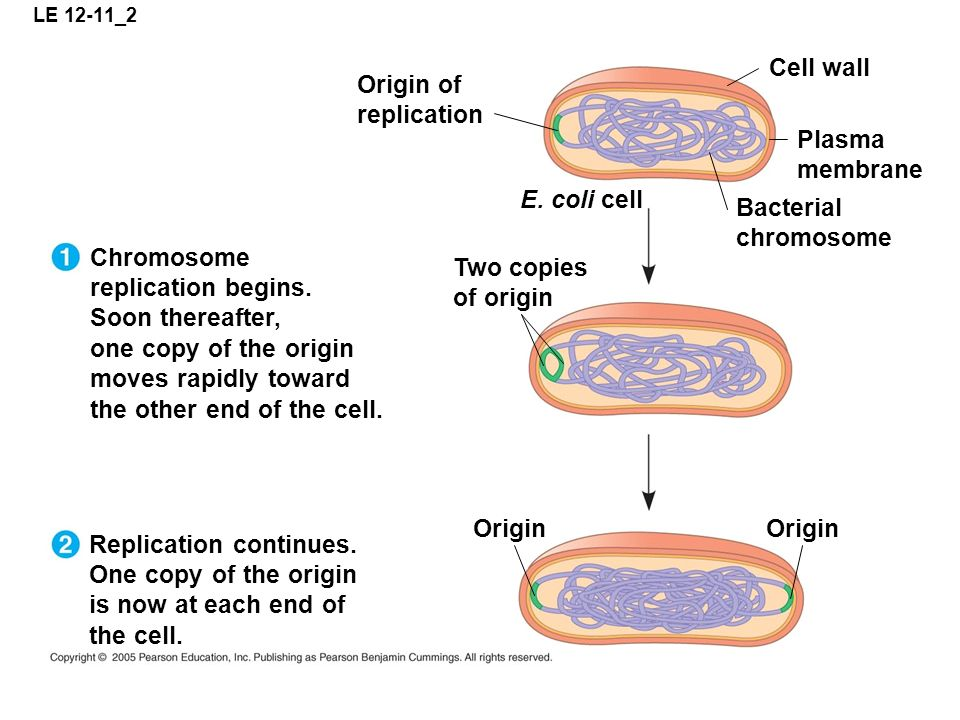 Chromosome replication begins. Soon thereafter,