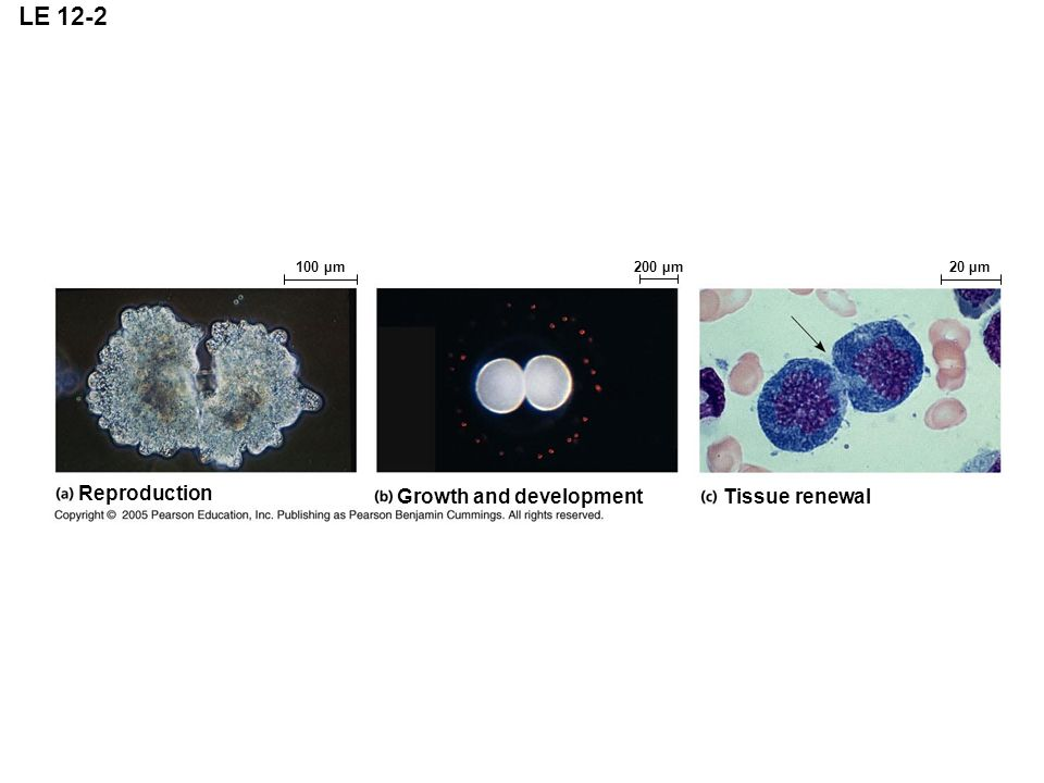 LE 12-2 Reproduction Growth and development Tissue renewal 100 µm