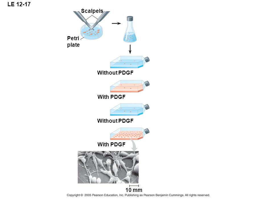 LE 12-17 Scalpels Petri plate Without PDGF With PDGF Without PDGF