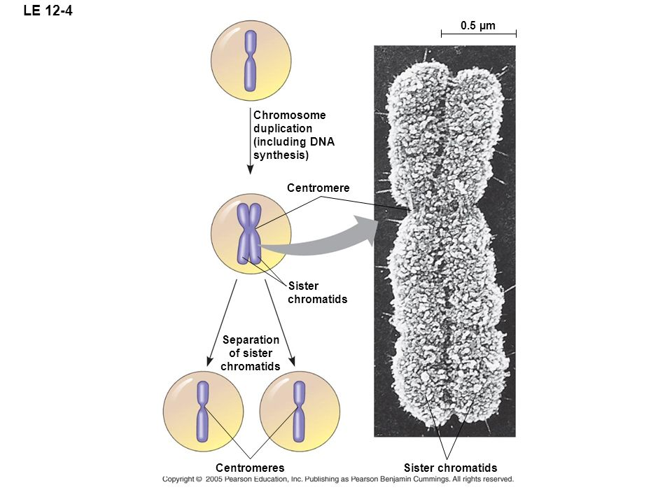 LE 12-4 0.5 µm Chromosome duplication (including DNA synthesis)
