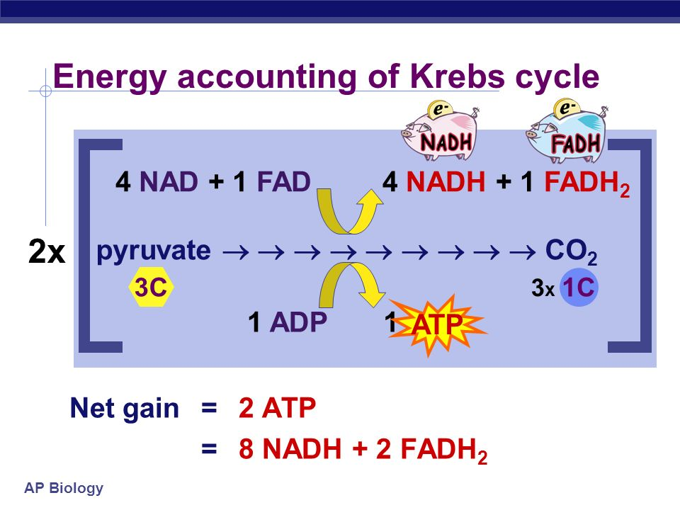 Energy accounting of Krebs cycle