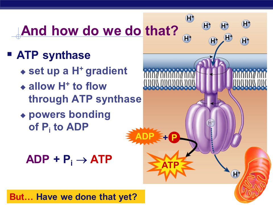 And how do we do that ATP synthase ADP + Pi  ATP