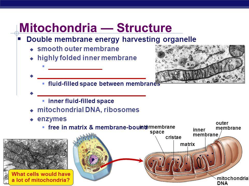 Mitochondria — Structure
