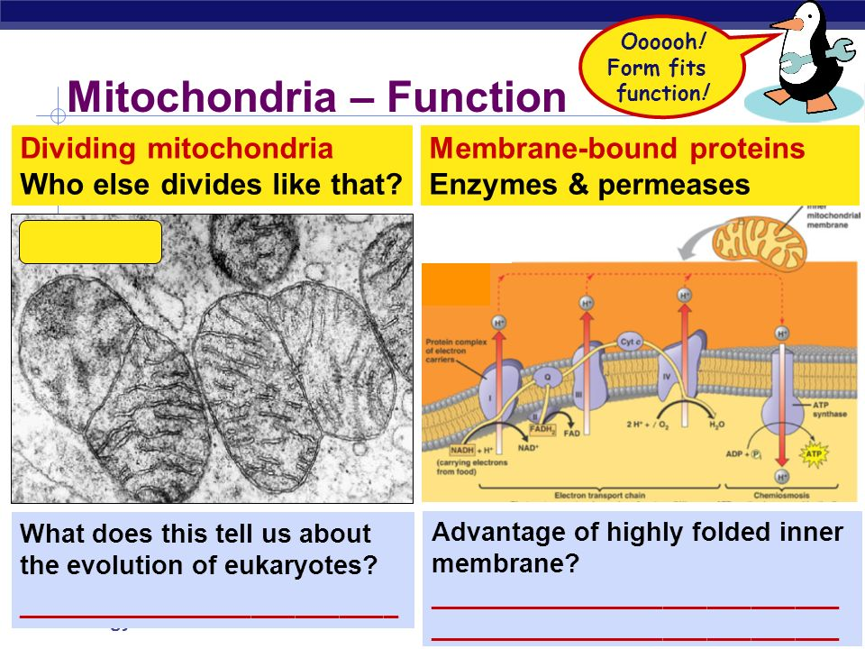 Mitochondria – Function