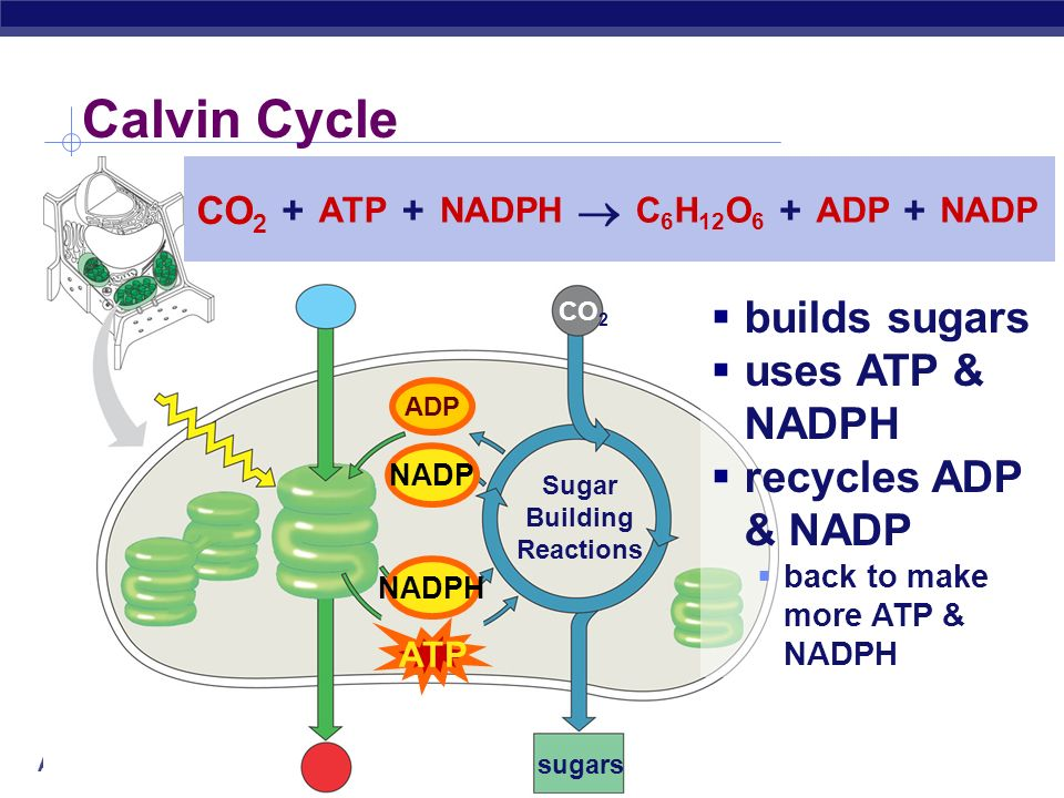Calvin Cycle  builds sugars uses ATP & NADPH recycles ADP & NADP CO2