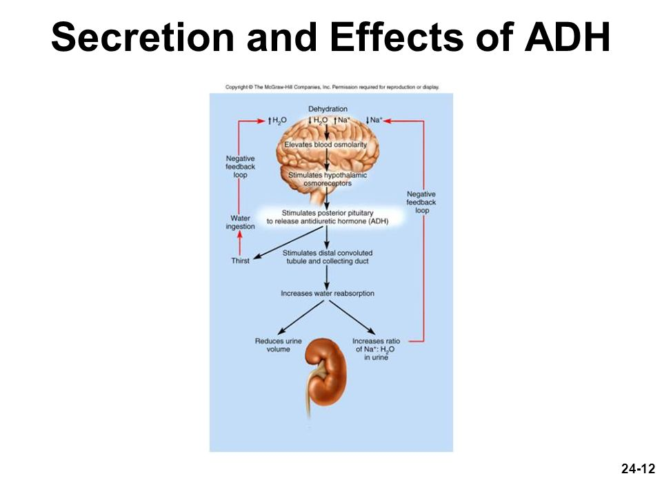 Secretion and Effects of ADH