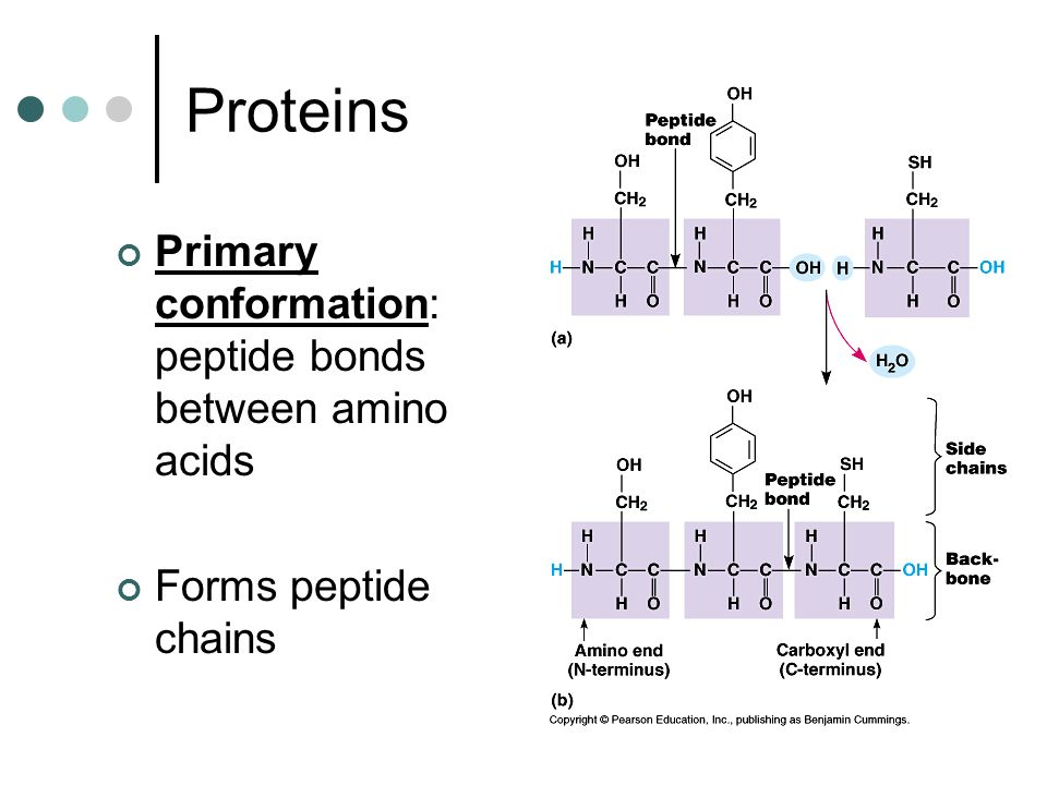 Proteins Primary conformation: peptide bonds between amino acids