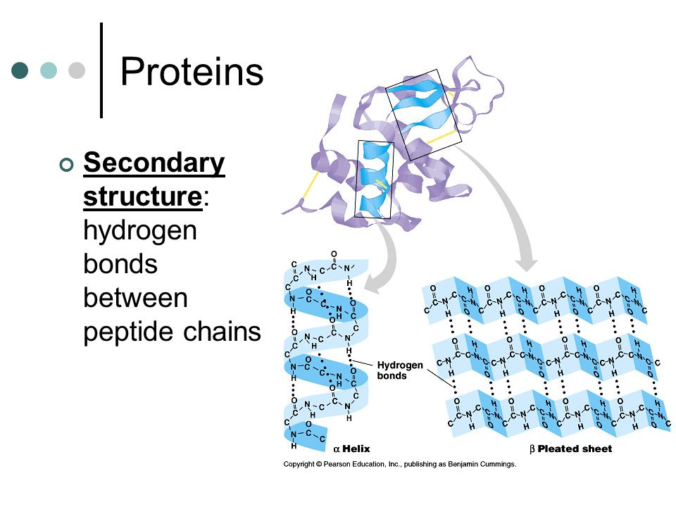 Proteins Secondary structure: hydrogen bonds between peptide chains