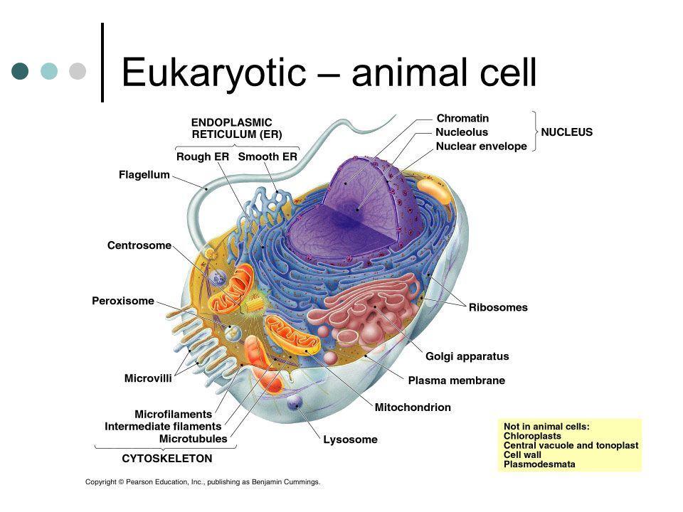 Eukaryotic – animal cell