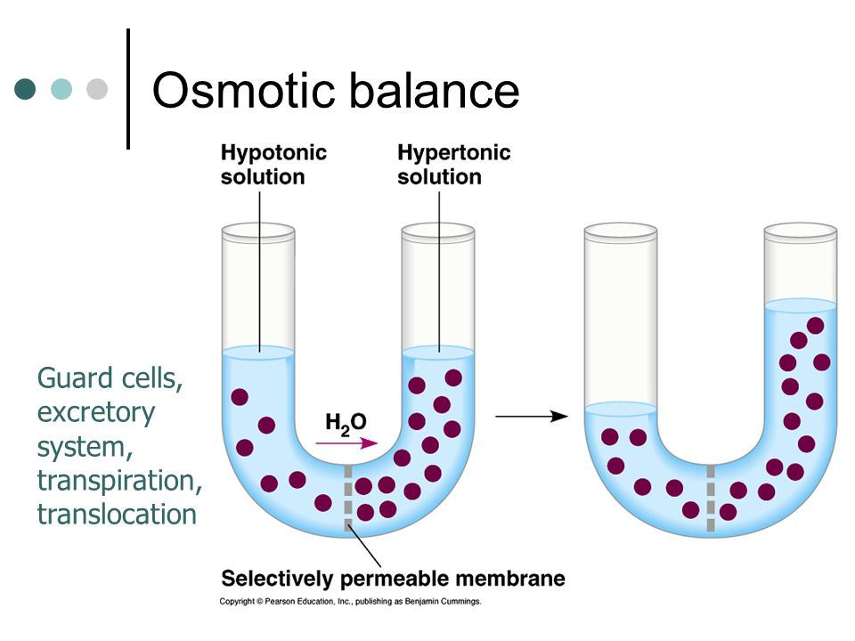 Osmotic balance Guard cells, excretory system, transpiration, translocation