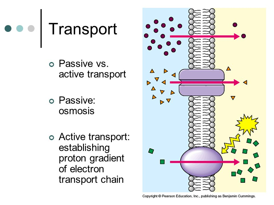 Transport Passive vs. active transport Passive: osmosis