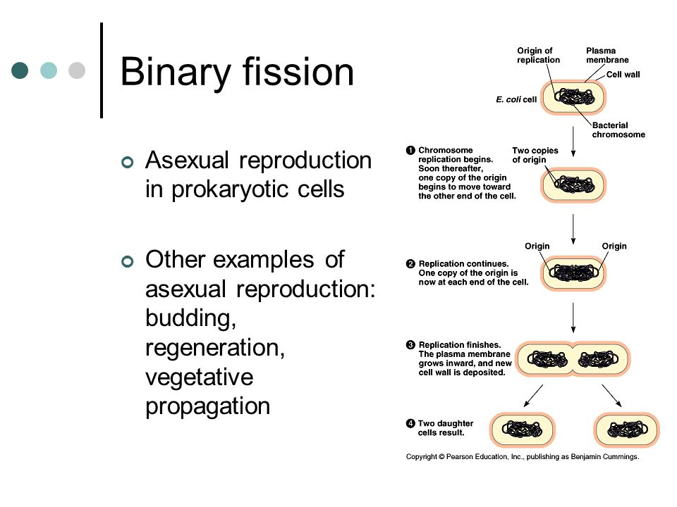 Binary fission Asexual reproduction in prokaryotic cells