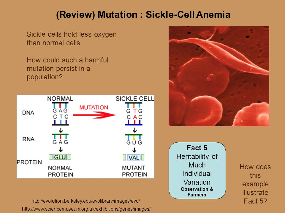(Review) Mutation : Sickle-Cell Anemia